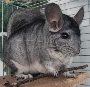 chinchilla-patchouli